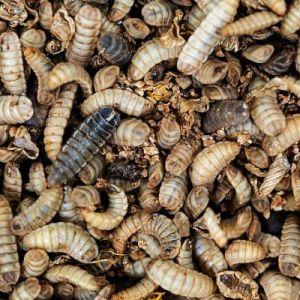 Insectes séchés à picorer poule larves de mouche soldat 700g - Prefor