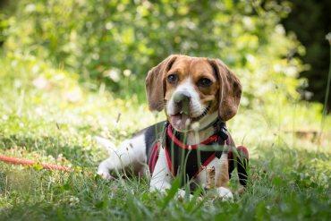 Education canine : nos astuces anti-fugues pour chien