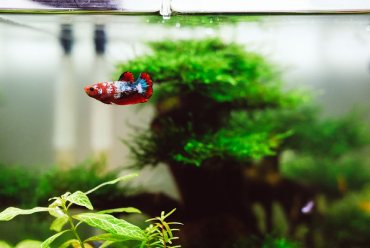 7 choses à savoir avant d'acheter un poisson combattant