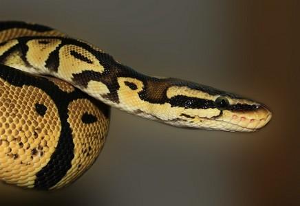 poids python royal