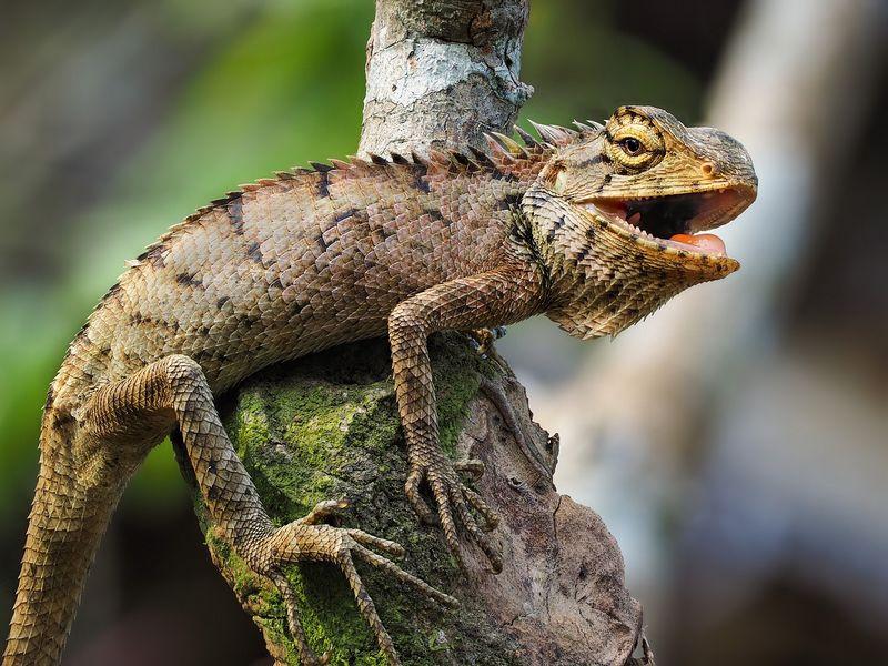 la famille des iguanes sont généralement des lézards herbivores