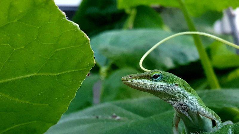 l'anole vert est un lézard insectivore