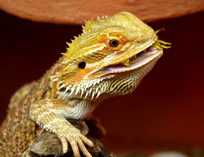 Le dragon barbu est un lézard omnivore