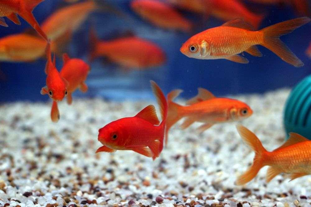 Quel aquarium choisir pour des poissons d'eau douce ?
