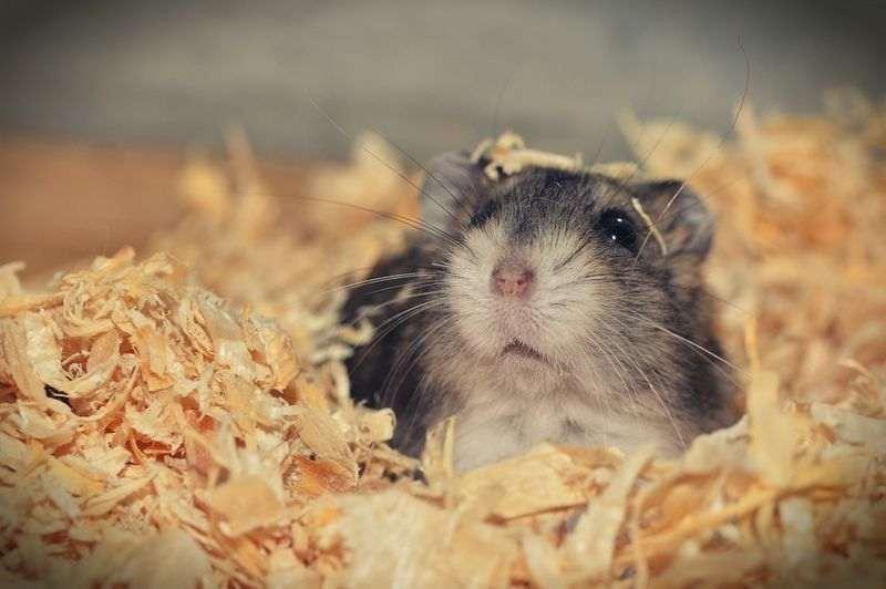 Conseils pour adopter un hamster
