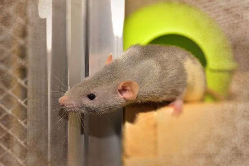 Conseils pour adopter un rat