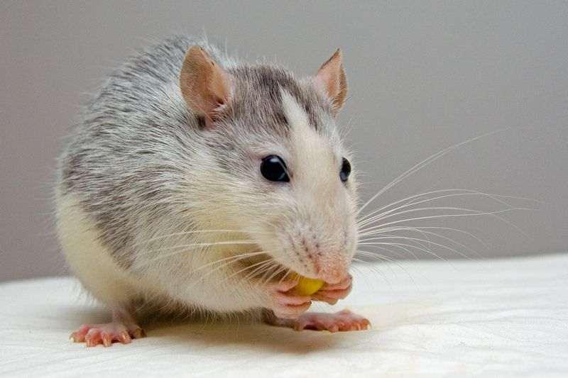 Conseils pour adopter une souris
