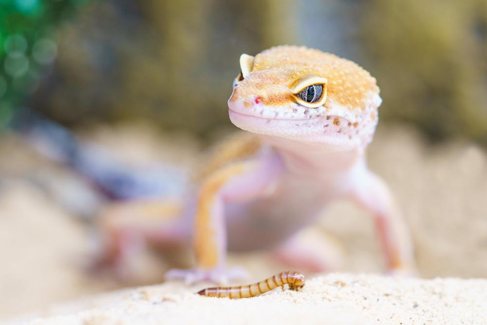 Débuter en terrariophilie avec un gecko