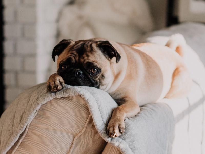 Chien carlin sur le canapé