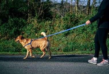 Canicross : laisse, harnais et ceinture pour chien