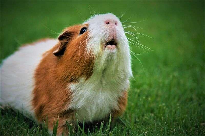 Guide pratique élevage cochon d'Inde