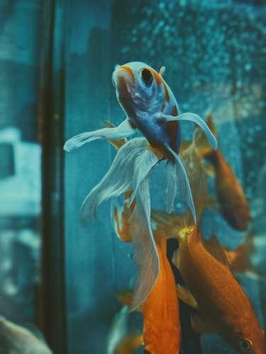 combien de poisson dans un aquarium