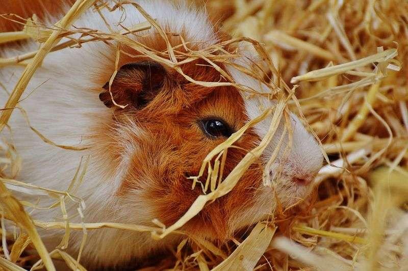 Guide pratique entretien et toilettage cochon d'Inde